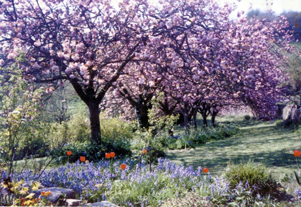 The eight pink cherries at their peak in 1980s. Planted in September 1937